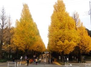 慶應日吉キャンパス内の銀杏(いちょう)並木が見ごろに、子どもらで賑わう