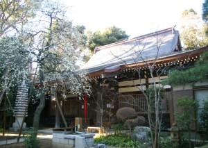 例年より暖かい日吉の春、下田地蔵尊「眞福寺」のしだれ梅は早くも見頃