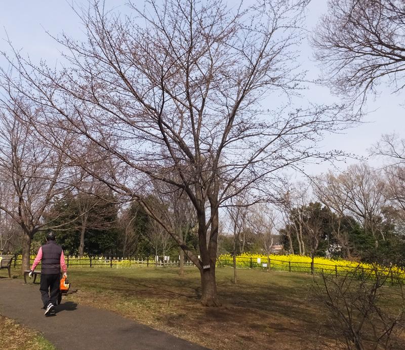 日吉の池本さんがつなぐ「日米友好」のシドモア桜、3/25(月)に植樹