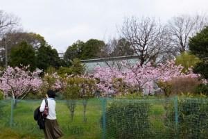 百年余の歴史継ぐ伝統の「桃の花」は今週末にも満開、綱島東の池谷家で