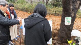 """<桜待つ季節>日吉の丘公園でヤマザクラを""""治療""""、菜の花は寒さ影響で大被害"""