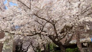 """<2018年3月28日現在>日吉・綱島で桜と桃の花が「満開」、散る前に急ぎ""""花見""""を"""