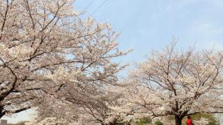 <新横浜駅前公園>鳥山川沿いの桜は3/27(火)現在「ほぼ満開」、散策で賑わう